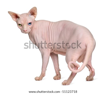 Sphynx cat, 1 year old, standing in front of white background - stock photo