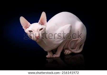 Sphynx hairless cat - stock photo