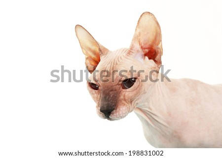 Sphynx hairless cat isolated on white - stock photo