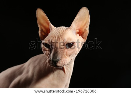 Sphynx hairless cat on black background - stock photo