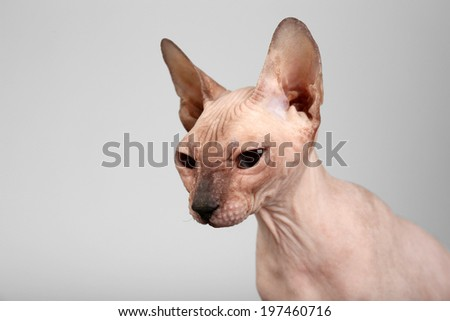 Sphynx hairless cat on grey background - stock photo