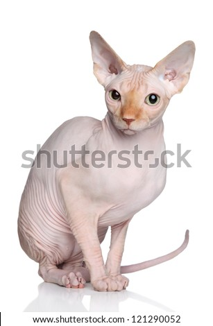Sphynx hairless cat posing in studio on a white background - stock photo