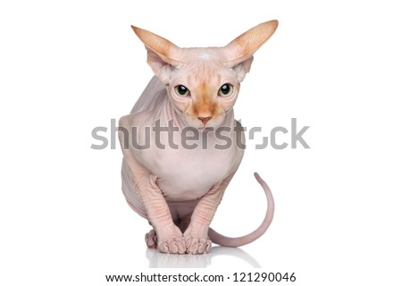 Sphynx hairless cat sits on a white background - stock photo