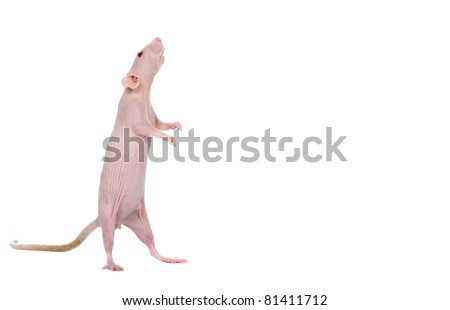 Sphynx rat in studio on a white background - stock photo