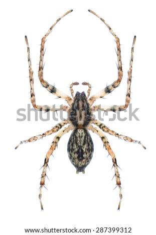 Spider Anyphaena accentuata (female) on a white background - stock photo