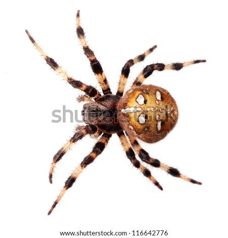 Spider Araneus diadematus - stock photo