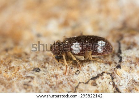 Spider beetle, Ptinus sexpunctatus on wood, high magnification - stock photo