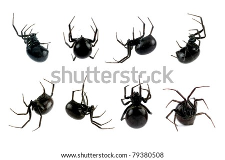 Spider, Black Widow, Lacrodectus Hasselti, female, various views isolated on white, length 14mm - stock photo