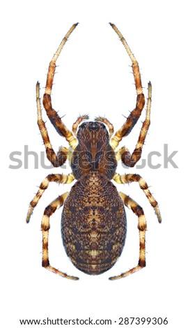 Spider Cercidia prominens (female) on a white background - stock photo