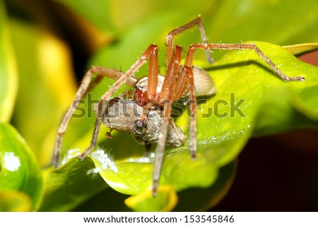 Spider eating prey