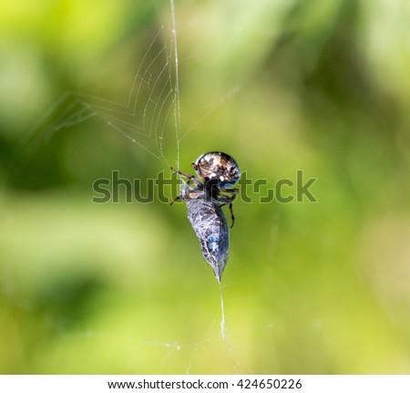 spider eats its prey - macro shot - stock photo