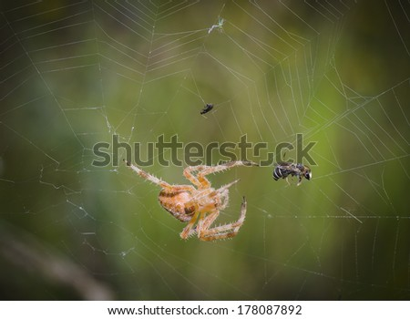 Spider grabbed a bee in the network - stock photo
