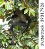 spider monkey adult hanging in tree feeding, drake bay,costa rica, central america - stock photo