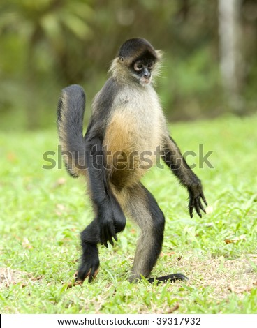 spider monkey adult walking on ground, guanacaste, costa rica, latin america. exotic primate walking like human in tropical jungle - stock photo