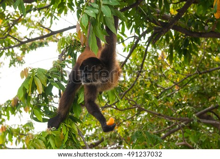 Spider monkey (Ateles) eating papaya, this is the type of spider monkey one encounters throughout Central and South America.