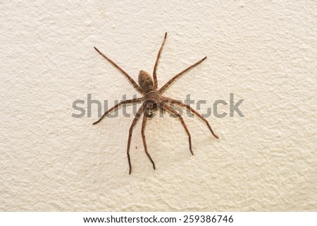 Spider (Neosparassus) on the wall - stock photo