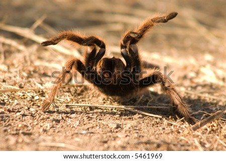 Spider on attack position