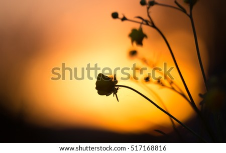 Spider on buttercup flower in sunset