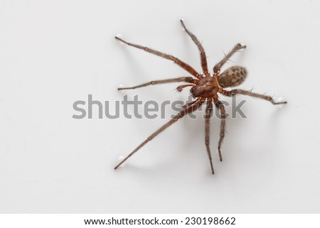 Spider (Tegenaria agrestis) on a white background, macro
