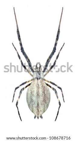 Spider Uloborus walckenaerius (female) on a white background
