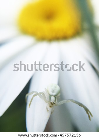 spider waiting for prey on white petal - stock photo