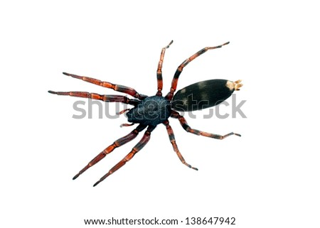 Spider, white-tailed. Lampona species, body length 16mm - stock photo
