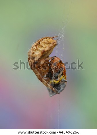 Spider With Prey - stock photo