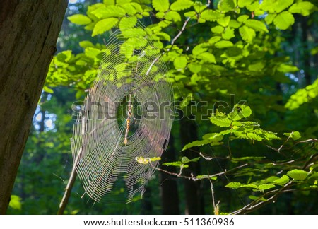 Spiders's web in morning sun against fresh green hornbeam tree leaves, Bialowieza Forest, Poland, Europe
