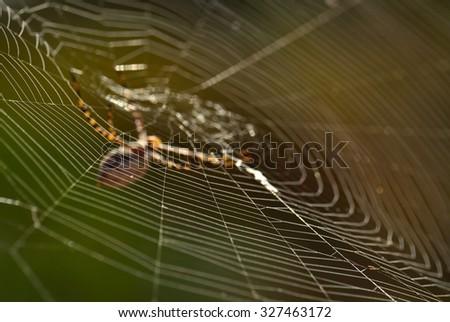 Spiderweb on green background, argiope argentata - stock photo
