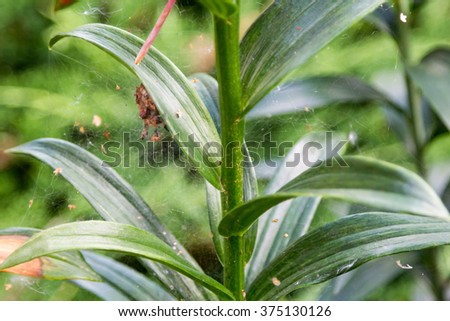 spiderweb on leaves of lily in the foliage - stock photo