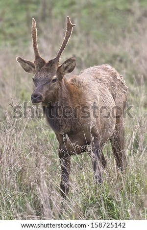 Spike Bull Elk - Photograph taken during the rut in Elk County, Elk State Forest, Benezette, Pennsylvania - stock photo