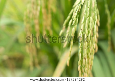 Spike in paddy field, Thailand - stock photo
