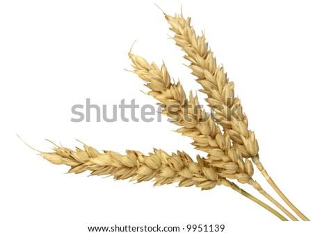 Spike of wheat isolated - stock photo