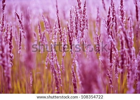 Spikelets of grass blooming