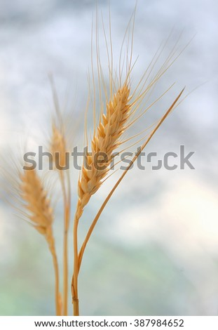 Spikelets of wheat in the sunlight - stock photo