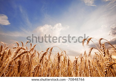 Spikes of the wheat and blue sky with clouds