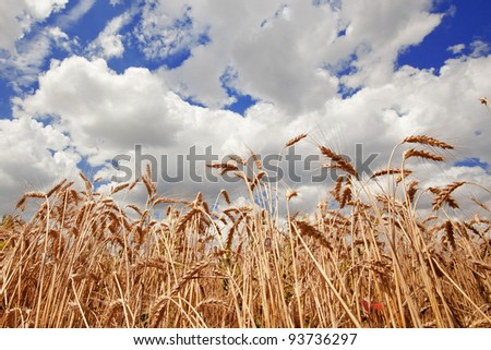 Spikes of the wheat and blue sky with clouds - stock photo