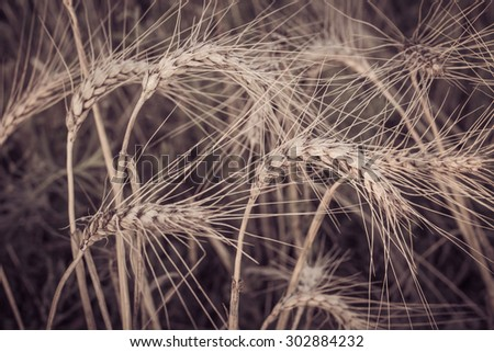 Spikes of wheat in a field close up. Toned effect - stock photo