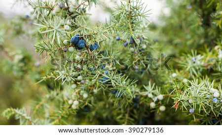 Spiky green juniper bush close up image with blueish bloomy berries - stock photo