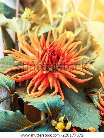 Spiky orange dahlia flower , outdoor - stock photo