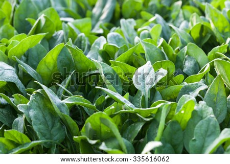 spinach field under morning dew - stock photo