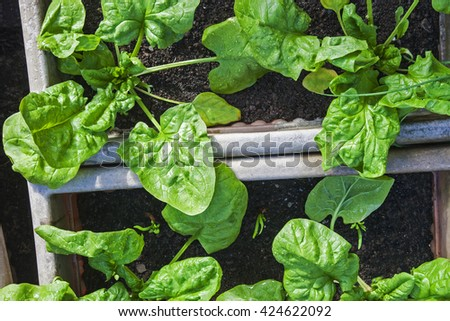 Spinach in good shape, growing in plant pots (amongst shallot shoots) - stock photo