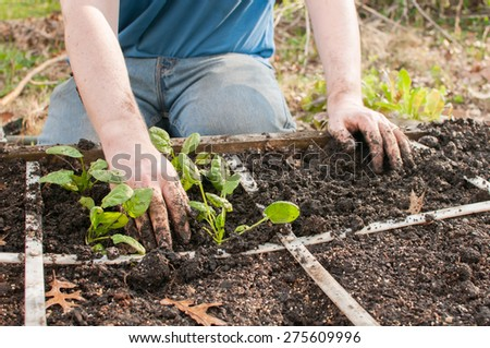 Spinach seedlings are being planted in a square foot garden lattice by a man, who is only shown from the chest down.   He is wearing jeans and a t-shirt.  The focus is on his hands and the plants. - stock photo