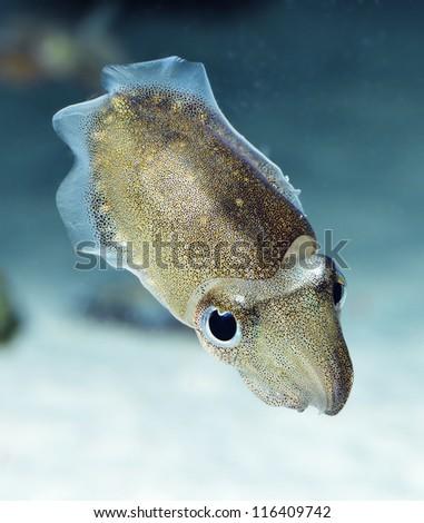 Spinesless cuttlefish, sepiella inermis - stock photo