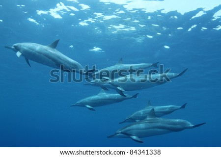 Spinner Dolphin - stock photo