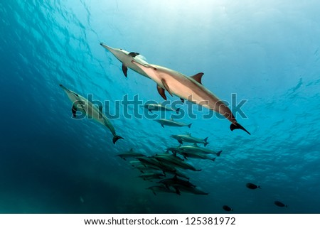 Spinner dolphin (stenella longrostris) pod in th Red Sea. - stock photo