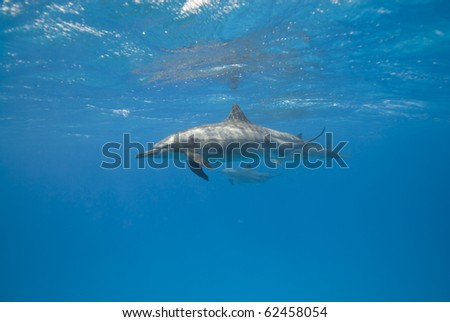Spinner dolphins in the wild (Stenella longirostris). Sataya, Southern Red Sea, Egypt. - stock photo