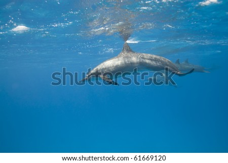 Spinner dolphins (Stenella longirostris). Sataya, Southern Red Sea, Egypt.