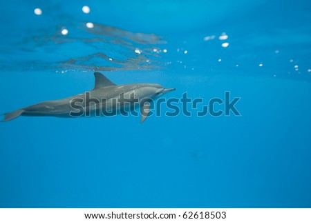 Spinner dolphins (Stenella longirostris). Sataya, Southern Red Sea, Egypt. - stock photo