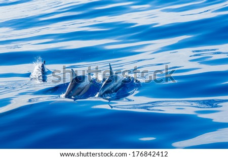 Spinner dolphins swimming close to the surface of the bright blue clear ocean off the coast of Kauai in Hawaii